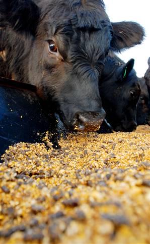 corn_feed_as_bad_as_ethanol